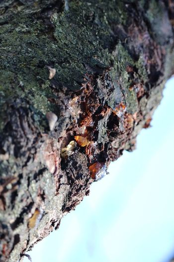 Tree Sap Close-up Textured  Nature Rough Tree Trunk Outdoors No People Day Differential Focus Beauty In Nature Possibilities