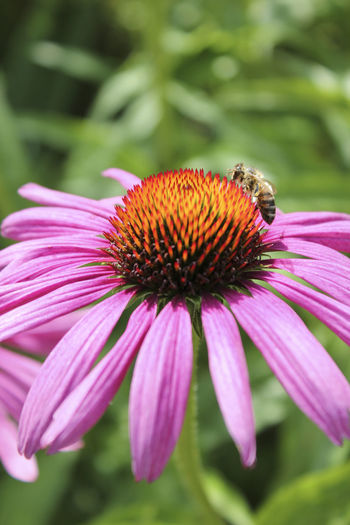 Bee Blossom Close-up Flower Flowers Garden Insect Margerite Purple Showcase July Colours Of Life Millennial Pink Neon Life