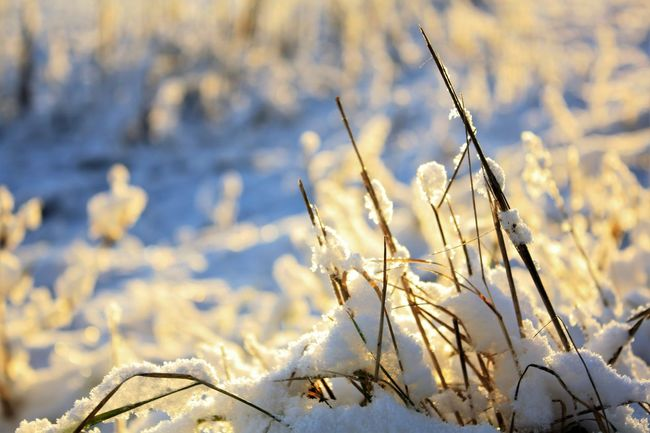 Beauty In Nature Close-up Cold Temperature Day Focus On Foreground Frozen Growth Nature No People Outdoors Plant Snow Sunlight Tranquility Winter