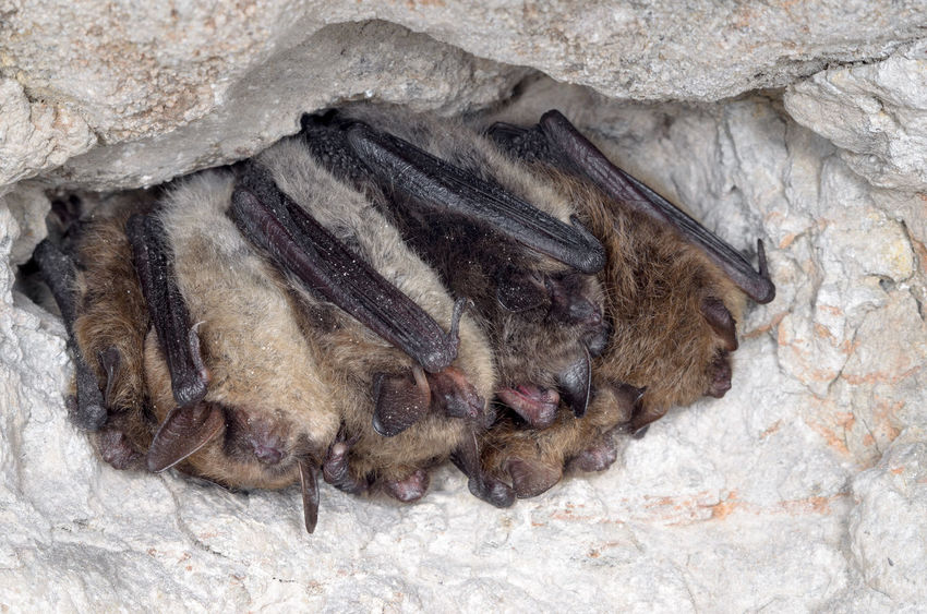 Brandt's bat (Myotis brandtii) Animals In The Wild Chiroptera Hibernation Nature Wildlife & Nature Winter Animals Bats Europe Mammal Nature Conservation Wildlife