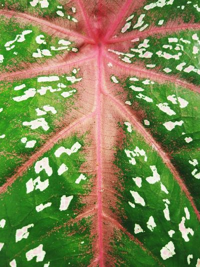 Caladium Leaf Texture No People Full Frame Day Backgrounds Close-up Outdoors Nature Texture Pattern Caladium Caladium Leaf Caladiums Elephant Ear Plant Leaf Red Caladium Plant Nature Green Color Garden Asian  Leaf INDONESIA