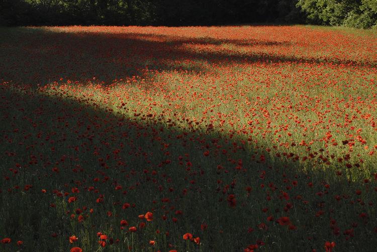 Red flowers blooming in field