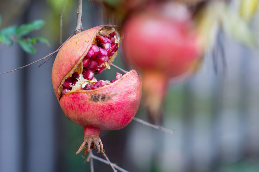 Beauty In Nature Close-up Day Focus On Foreground Food Food And Drink Freshness Fruit Growth Hanging Healthy Eating Nature No People Outdoors Plant Pomegranate Red