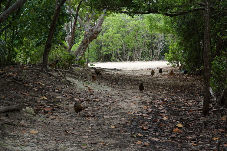 Chickens Hiking Nature Path Birds Day Forest Grand Cayman Nature Outdoors Tree