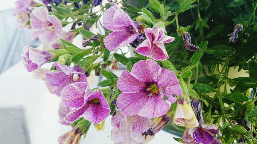 Hanging Out Taking Photos Check This Out Relaxing Enjoying Life Ahhh Relaxing Moments Colorful Nature Cool Morning  White Colorful Plants Purple Plants Taking Photos Flowers