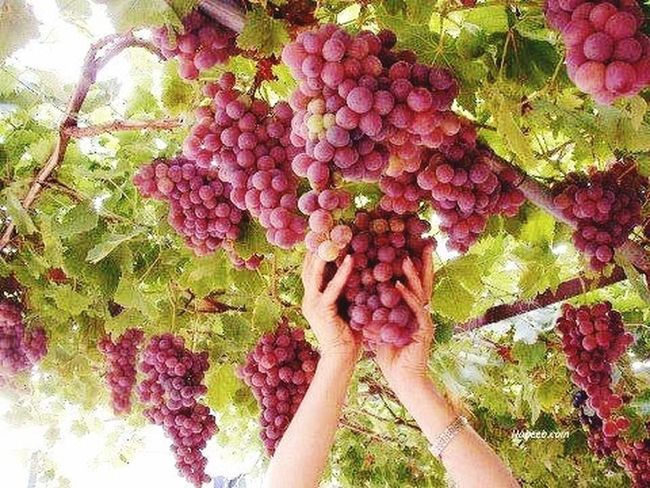 Red grapes Taking Photos Garden Fruits Hello World Beautiful Color Love Fruits Check It Out