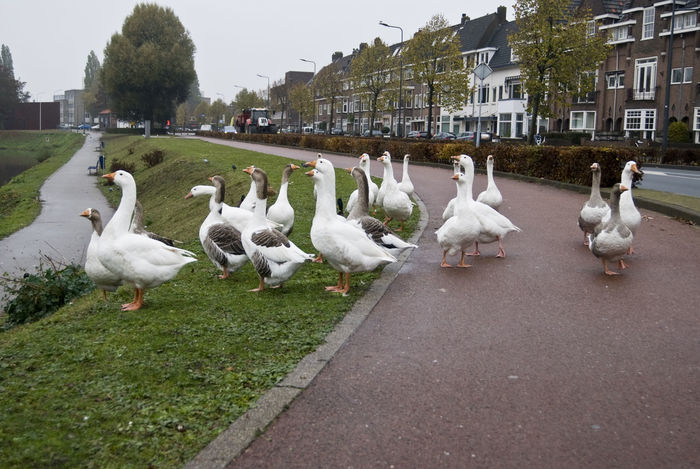 's Hertogenbosch Animal Animal Themes City Dutch Geese Holland Large Group Of Animals Netherlands No People