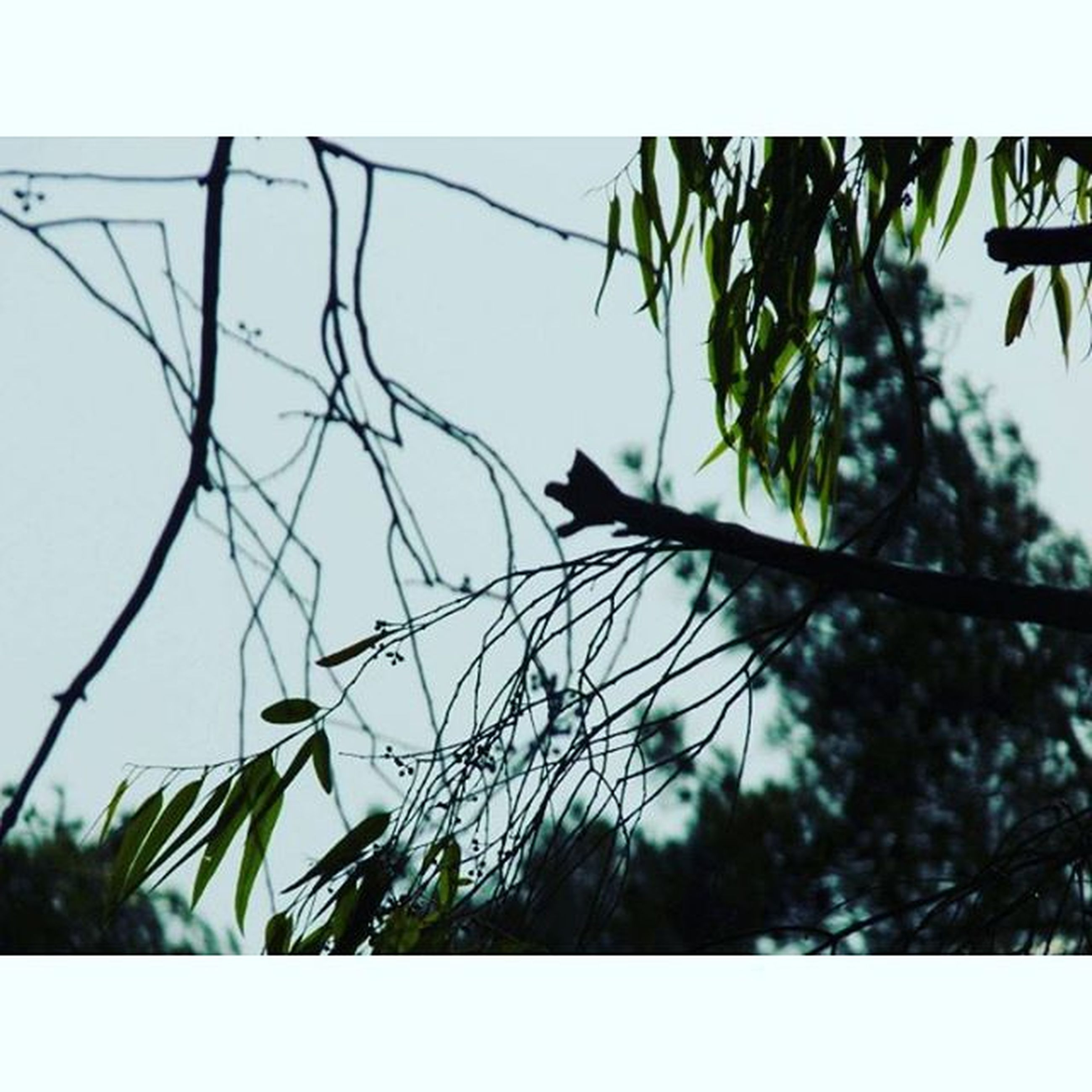 bird, animal themes, animals in the wild, wildlife, one animal, low angle view, perching, clear sky, branch, flying, tree, spread wings, nature, day, plant, no people, growth, outdoors, silhouette, sky