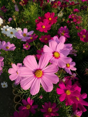 Flower Pink Color No People Nature Petal Day Outdoors Beauty In Nature Fragility Plant Flower Head Close-up Freshness