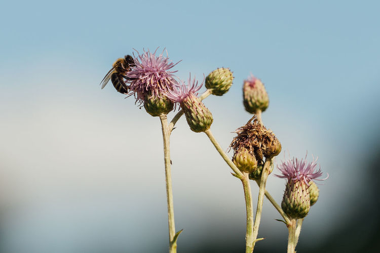 Close-up of wilted thistle against sky