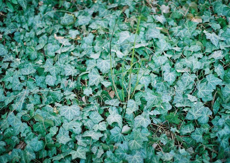 Full frame of green ivy plant