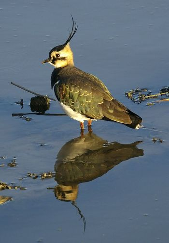 lapwing, Vanellus vanellus. reflective . Animal Themes One Animal Bird Animals In The Wild Wildlife Water Full Length Reflection Nature Beauty In Nature Outdoors Bird Photography Birds Of EyeEm  Wildlife Photography Wildlife & Nature