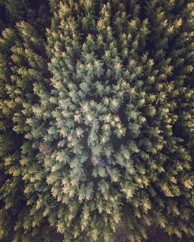 Forrest Dronephotography Drone  DJI Mavic Pro Dji Nature Tree Full Frame Backgrounds Growth No People Forest Pine Tree Beauty In Nature Outdoors Tranquility Day The Great Outdoors - 2018 EyeEm Awards