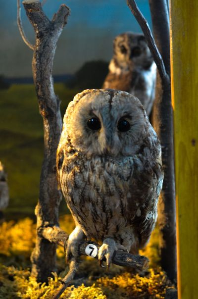 Russia Owl Museum Animal