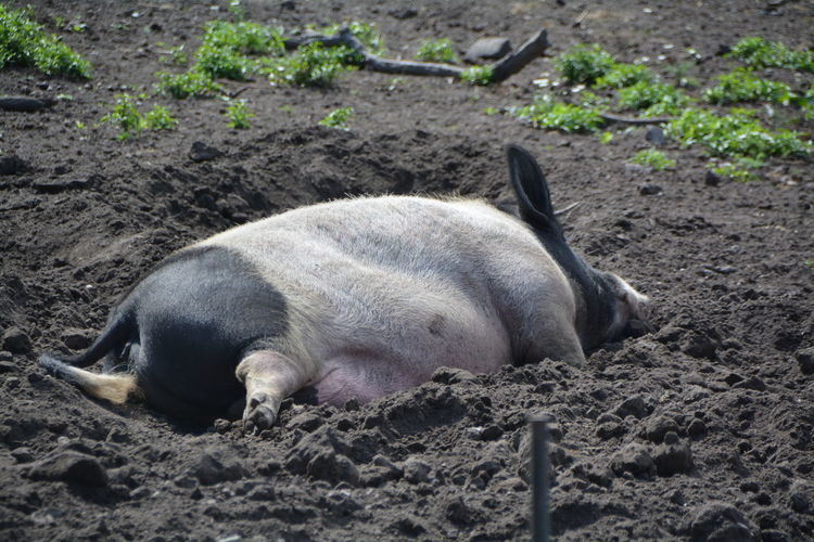 High angle view of pig lying in mud at farm