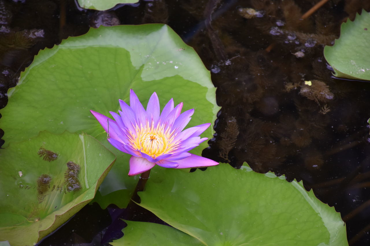 flower, water, flowering plant, water lily, freshness, plant, fragility, vulnerability, leaf, pond, plant part, beauty in nature, petal, inflorescence, flower head, floating, floating on water, growth, pink color, lotus water lily, no people, pollen, purple