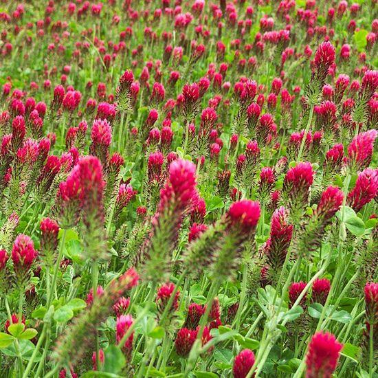 Champs de trèfles en fleur... Il s'y cache certainement un trèfle à 4 feuilles. Lalande Puisaye Trefles Igersbourgogne yonnetourisme yonne nature grainedenature