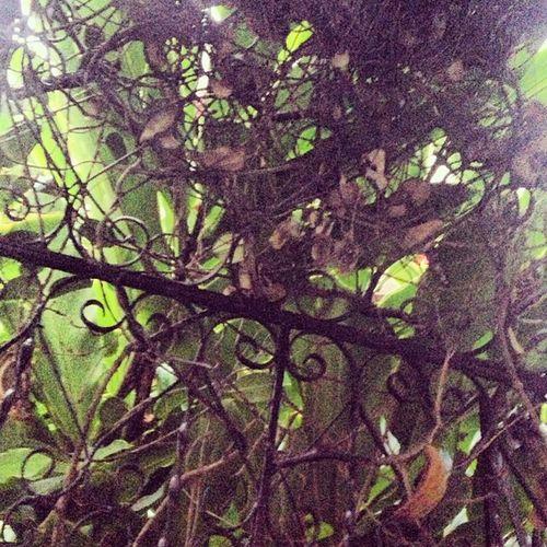 Iron Blackiron Blackirongate Openingtogarden green vines hidinglight waikiki oahu hawaii