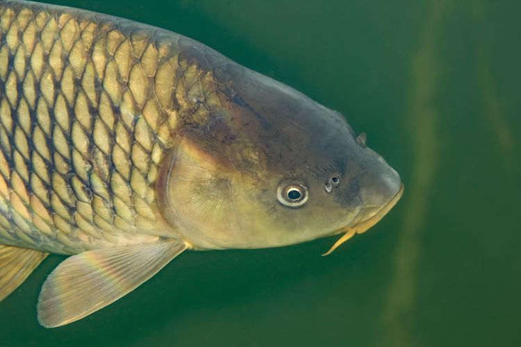 Underwater photo of the common carp or european carp, cyprinus carpio in soderica lake, croatia