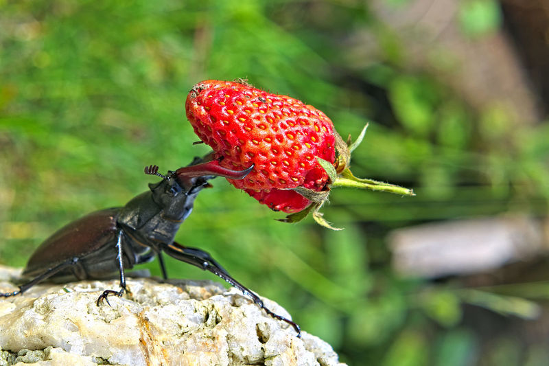 Lucanus cervus, Coléoptère Lucanidae mâles Animals In The Wild Beetle Beetle Insect Nature Close-up Coléoptère Day Focus On Foreground Invertebrate Lucanus Cervus Male Animal No People Outdoors Red Strawberry