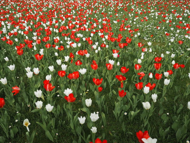 Nature Blooming Flowerbed Flowers Flowers, Nature And Beauty Fragility Freshness Meadow No People Outdoors Petal Red Flowers White Flowers Wild Flowers