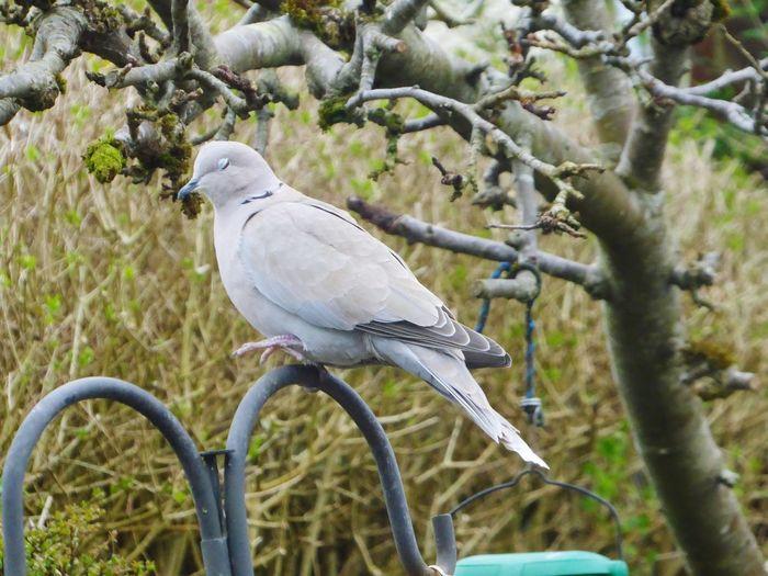 Collared Dove Bird