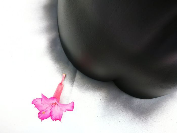 High angle view of pink flower over white background