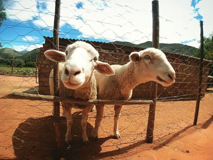 #sheep #farm