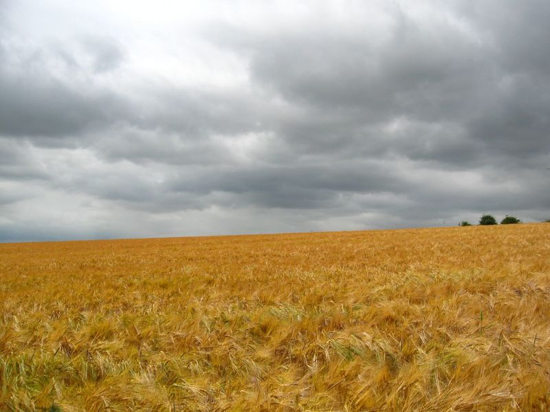 Grey Sky over Wheat Field before Harvest Agriculture Cloud - Sky Day Farm Land Field Landscape Landscape_photography Landscapes Nature No People Outdoors Scenics Sky The Cotswolds