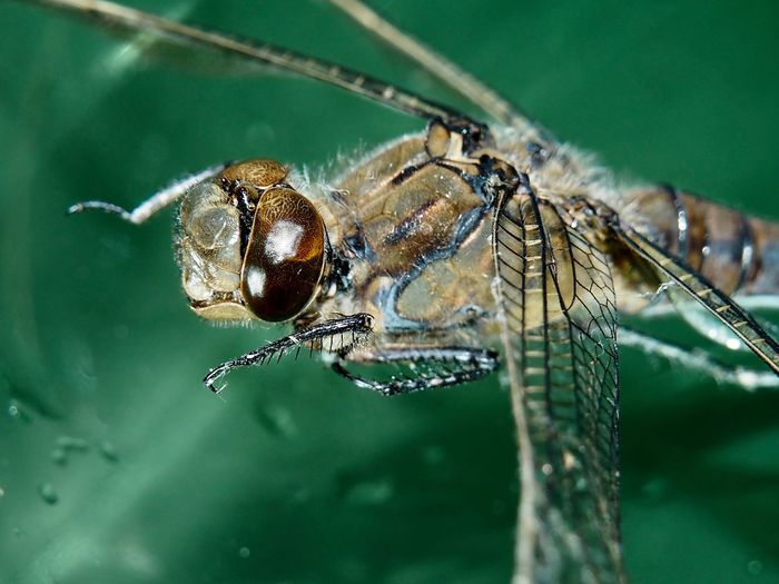 Dragonfly in ortenberg
