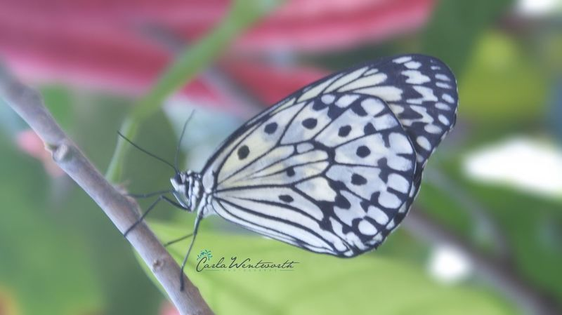 Photography Carla Wentworth Photography My Photography Butterfly