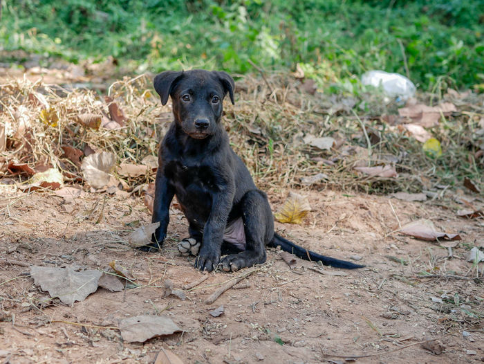 Portrait of black dog sitting on land