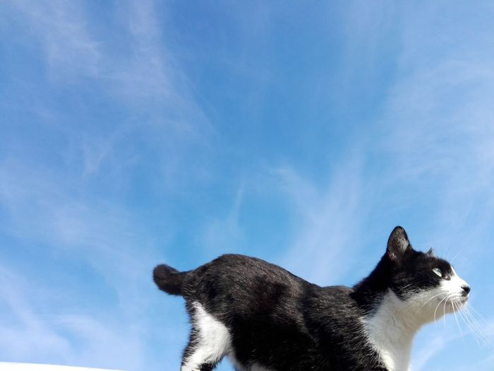 Cat Sky Blue Blue Sky Cat Uppon Blue Sky Cat Uppon Sky One Animal Animal Wildlife Animal Animals In The Wild Mammal No People Low Angle View Cloud - Sky Sky Nature Animal Themes Day Outdoors Portrait Close-up