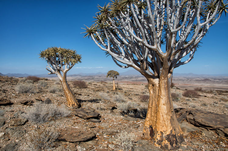 Quiver Tree Triangle African Plants Aridity Dry Landscape Flowering Namibian Namibian Landscape Nature Nature Photography Quiver Tree Trees Arid Arid Climate Blue Sky Dry Land Nature_collection Naturelovers Naturephotography Quiver Quivertree  Southern Africa Stone Three Threes Triangle Triangle Shape