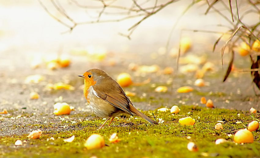 Animal Themes Autumn Beauty In Nature Bird Focus On Foreground Ground Nature One Animal Robin Wildlife