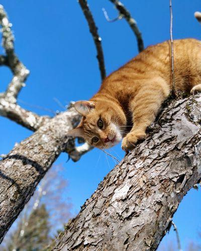 Lynx Cat EyeEm Selects Tree Climbing Branch Blue Feline Tree Trunk Sky Close-up