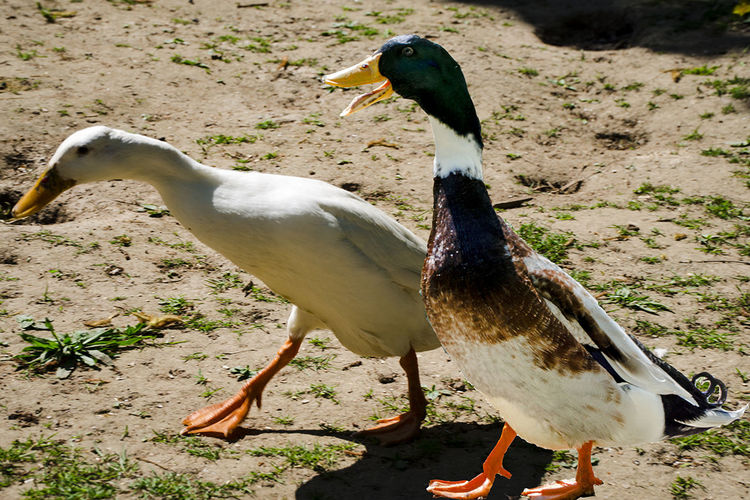 Animals Beauty In Nature Day Ducks Eend Ente Focus On Foreground Mallard Duck Nature No People Outdoors Tiere