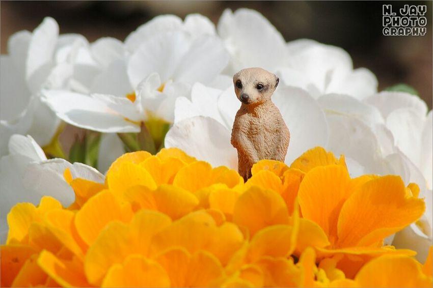 James The Meerkat Spring Flowers Spring Flowers Flowerporn EyeEm Nature Lover Meerkat Happy Easter Schleich Figure
