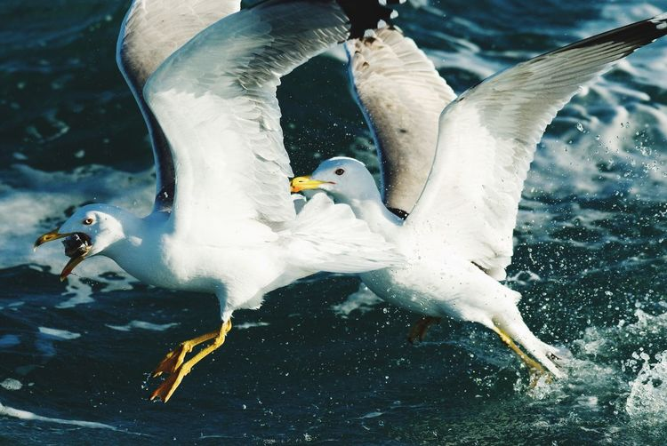 Seagulls fighting for fish