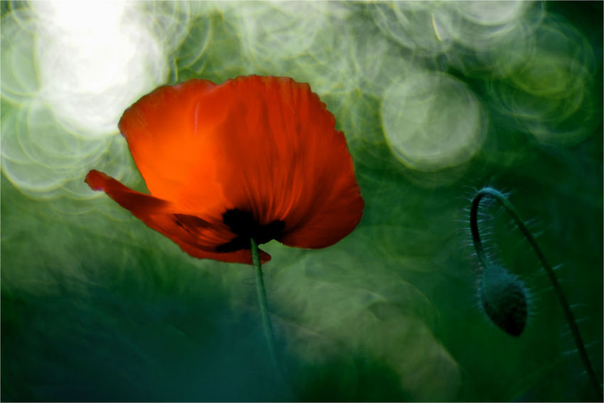 Old lens photography, Primoplan, Meyer Görlitz Beauty In Nature Best Shots Nature Blooming Close-up Day Flower Flower Head Light And Shadow Meyer-Optik-Görlitz Mohnblume Nature No People Old Lens Photo Outdoors Plant Poppy Primoplan Red