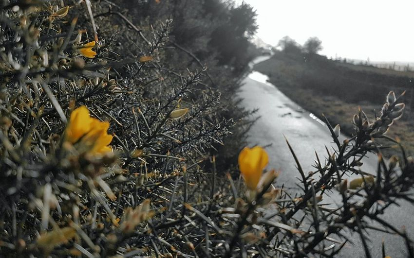 In winter gloom amongst the thorn a golden flower shines.... Gorse Gorse Flowers Focus On Foreground Blurred Background Golden Yellow Road Gloomy Day EyeEm Nature Lover Texture Spiky Spiky Plant Nature No People Day Outdoors Winter Tree Close-up Beauty In Nature