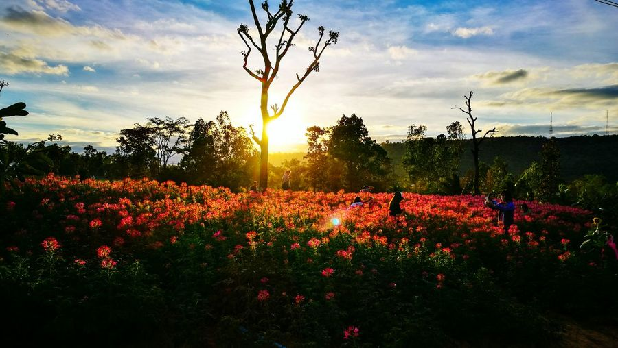 Red poppy flowers growing on field against sky at sunset