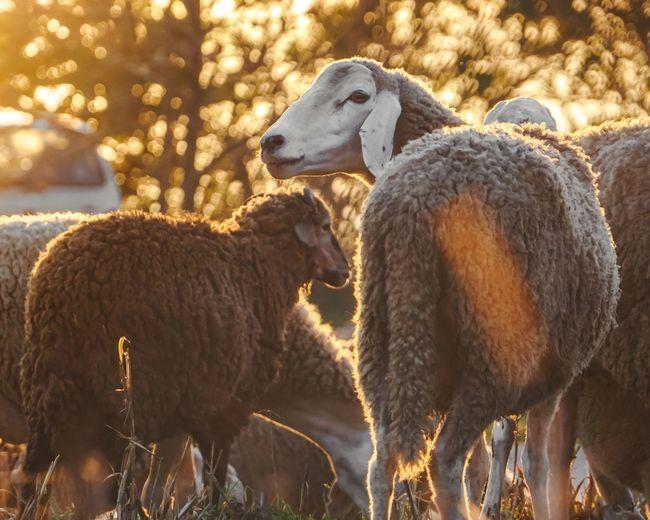 sheeps 🐑 in