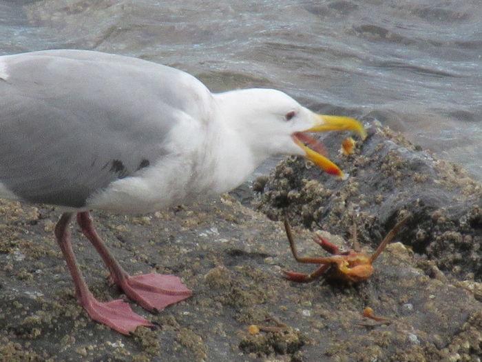 Crab Dinner Crab Nature Salish Sea Strait Of Juan De Fuca Animals In The Wild Bird Gull Sea Seagull Seagull Eating Seagull Eating Fish Vertebrate