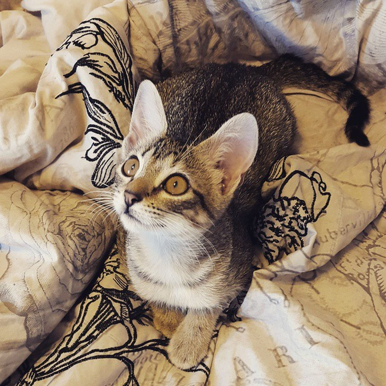 domestic cat, indoors, animal themes, feline, pets, sofa, bed, mammal, high angle view, domestic animals, home interior, relaxation, no people, comfortable, looking at camera, one animal, sheet, portrait, day, kitten, close-up