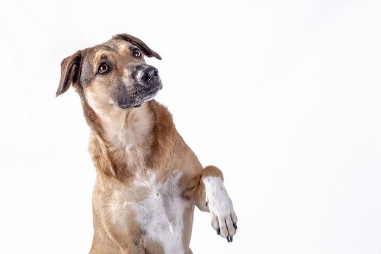 Dog looking away over white background