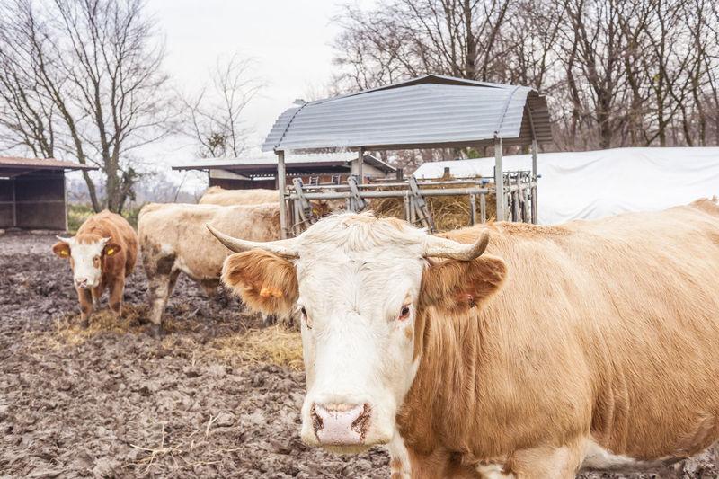 Cows on farm against sky