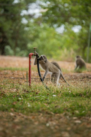 Monkey drinking water from faucet at kruger national park