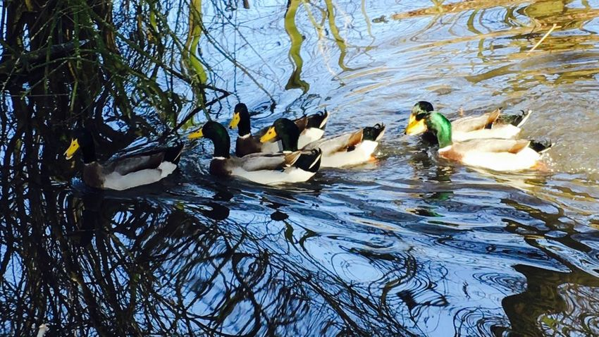 Water Reflections Water_collection Water Water Reflection Waterreflections  Enten Ententeich Duck Ducks Spiegelung
