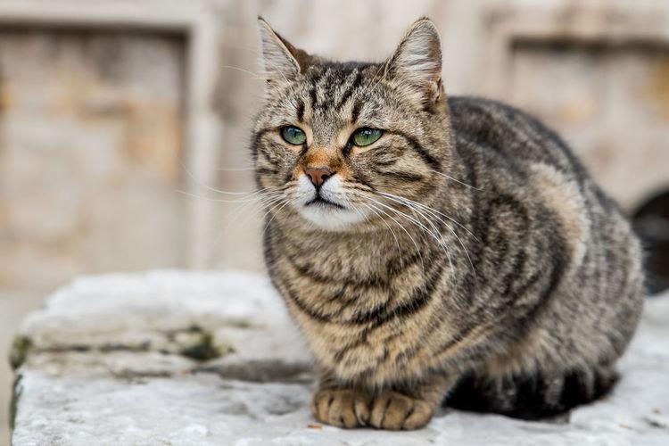 Close-up portrait of tigercat